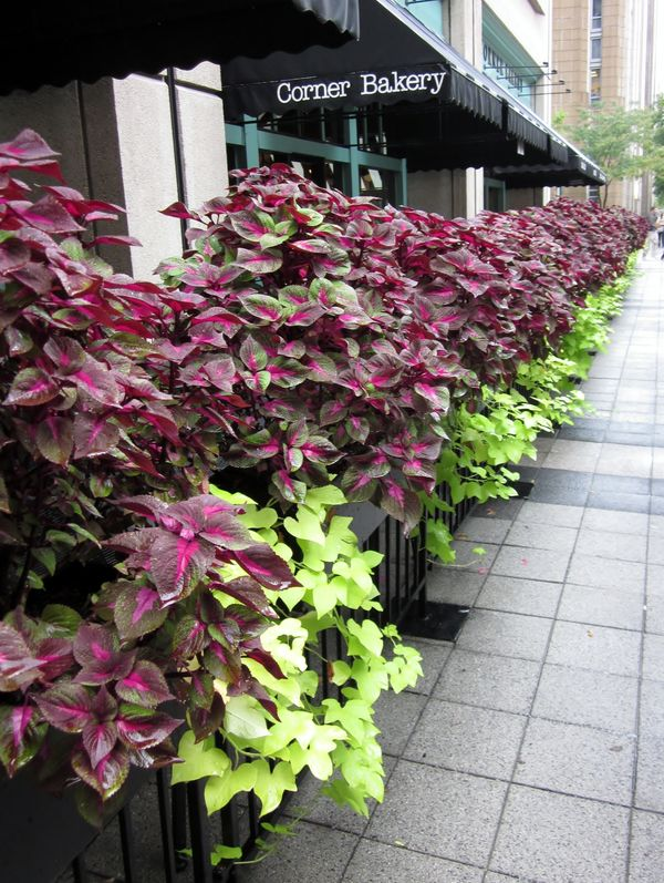 Potato vines under the coleus..On the streets of C...