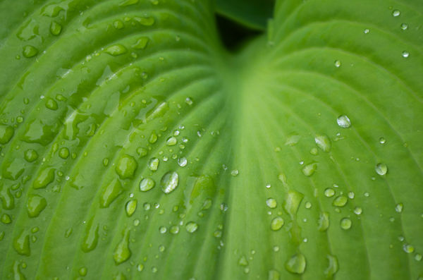 Hosta in the Rain...