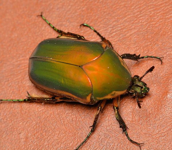 Green Figeater Beetle