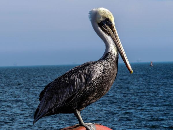 Pelican striking a pose on the Santa Barbara Pier...