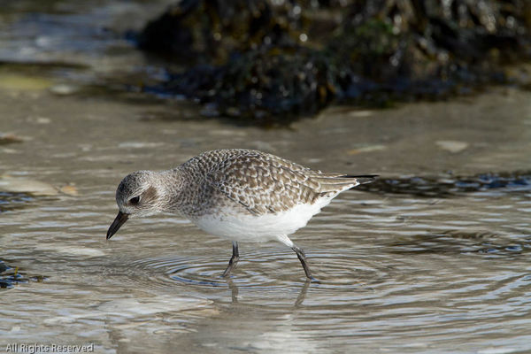 Here is a Black-bellied Plover against some rocks....