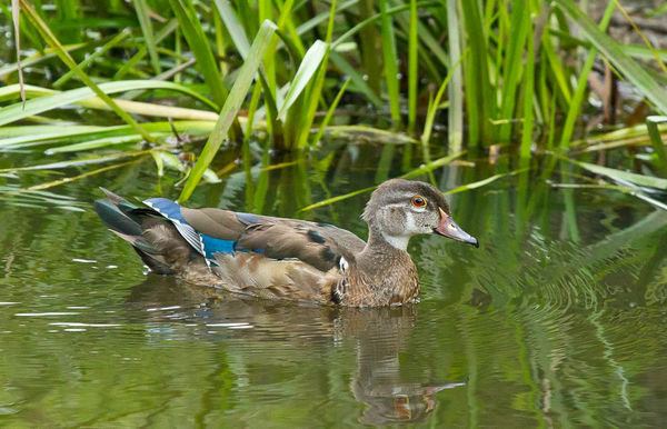 Here is a Wood Duck as I shot down on it....
