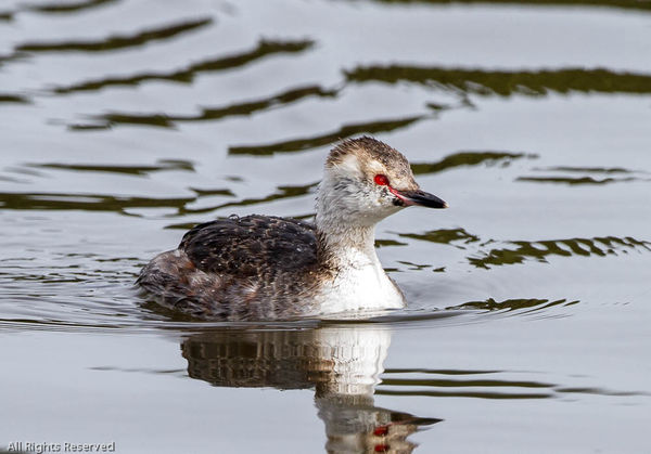 Horned Grebe shot from my car window on a fishing ...