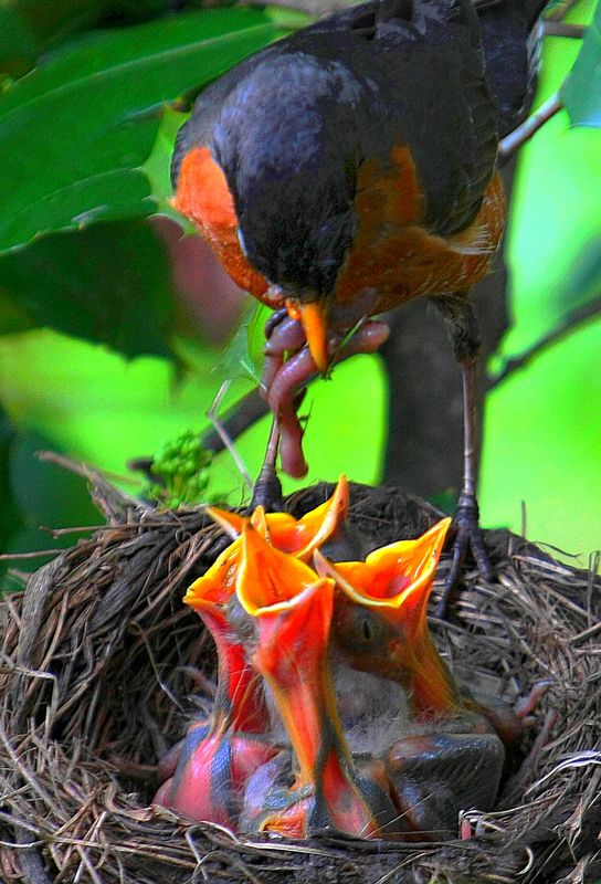 how to stop a robin from nesting