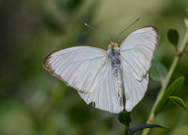 Smaller white butterfly...