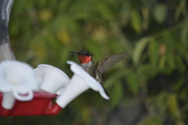 Ruby throated hummingbird baby - photo#15