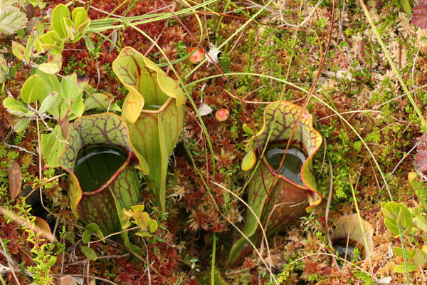 Pitcher plants in the bog...