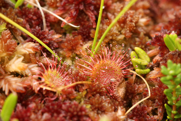 Tiny sundew - about 1/4 inch...