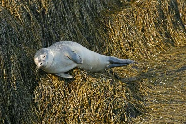 Young harbor seal snoozing...