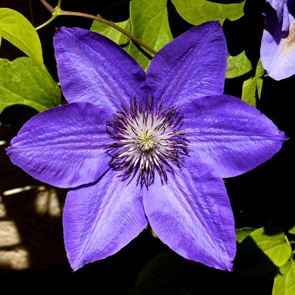 Фото с названиями цветов клематис