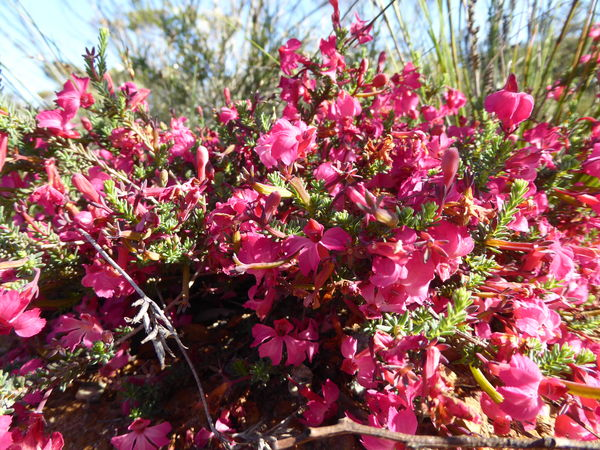 Wild spring flowers from south western australia pink leschenaultia mightylinksfo