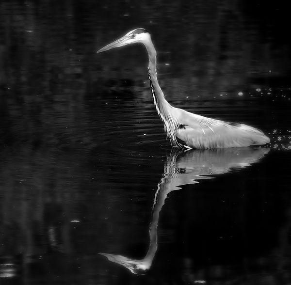 Stumpy Lake Water Birds In Virginia Beach Va