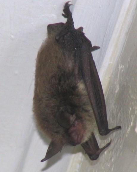 Bats In Our Farm House Window