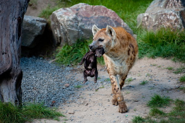 Hyena Offspring Please Mom , don't dro...