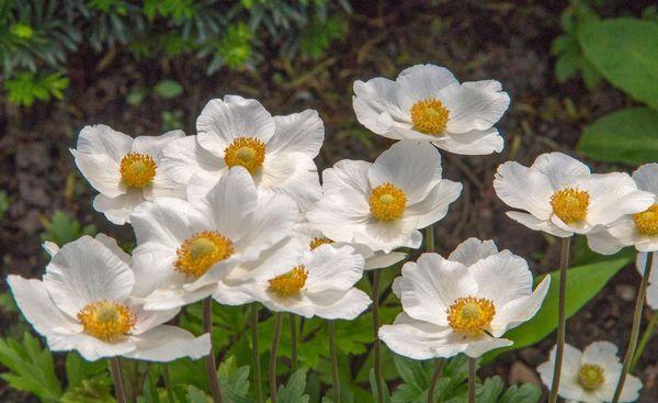 Spring Anemones...