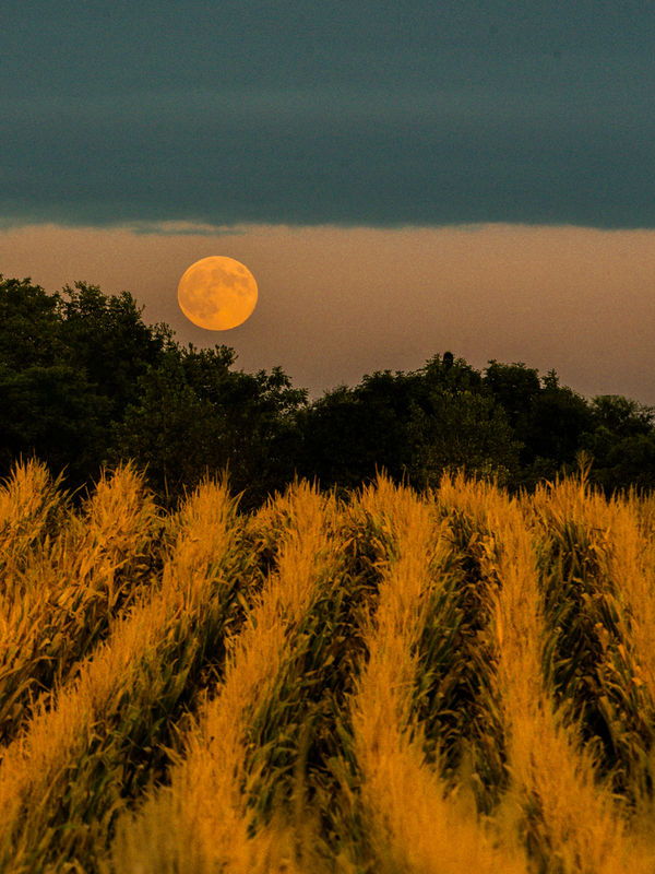 Harvest moon over the corn...