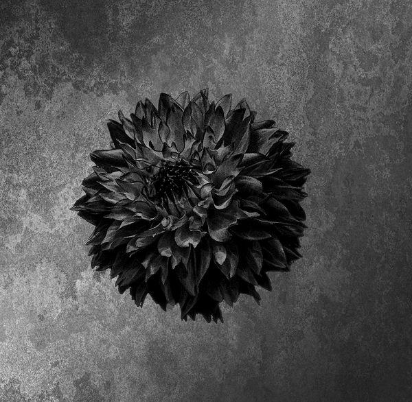 Black Dahlia 83