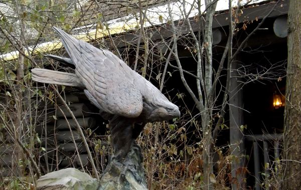 hawk at Wolf Encounter...