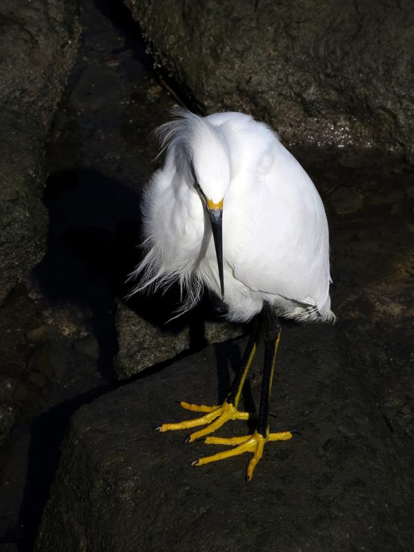 Snowy Egret Yellow Feet...