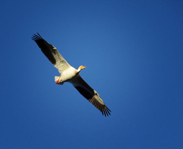 2. American White Pelican...