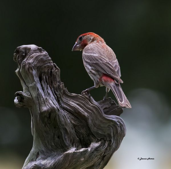 Red Brested Finch...