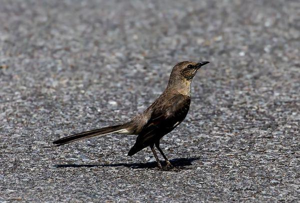 Mocking Bird...