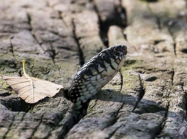 Rat Snake in a cross tie...