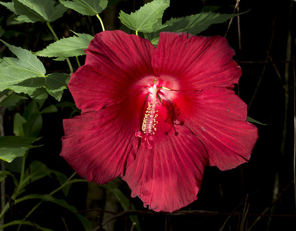 Dinner Plate Hibiscus...