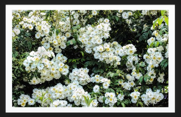 Rambling Rector roses...