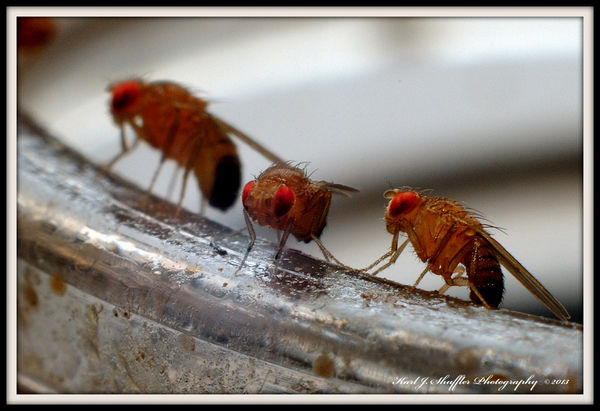 THE ANNOYING FRUIT FLY...