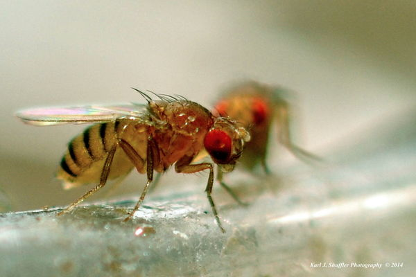Ever wonder what a fruit fly looks like?...