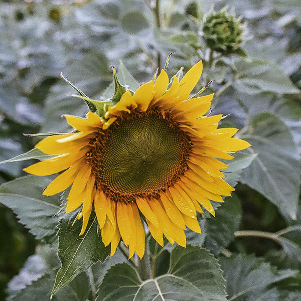 Sunflower on Film...