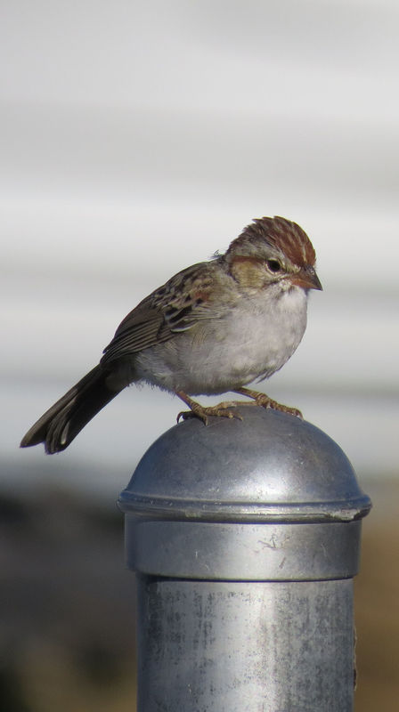 Rufous-winged sparrow (Arizona Sparrow?)...