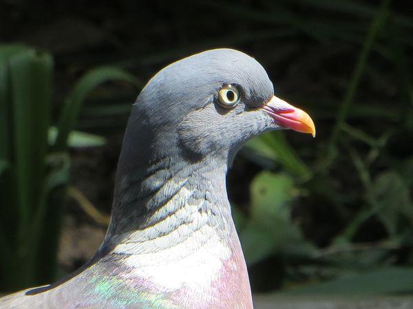 [Image: t1-260208-george_the_wood_pigeon.jpg]