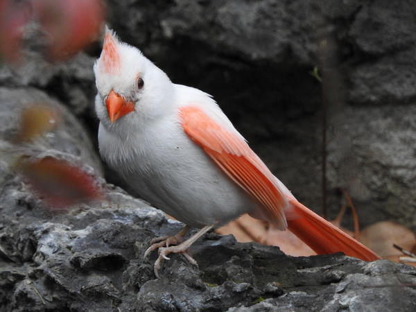 Unusual Color For A Cardinal