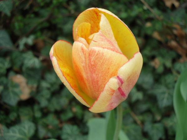 Just a tulip!...