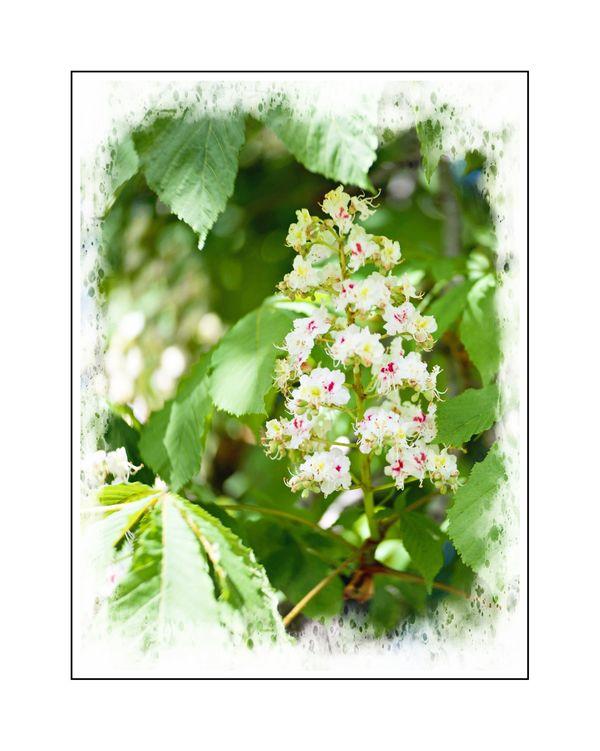 Horsechestnut tree blossom...