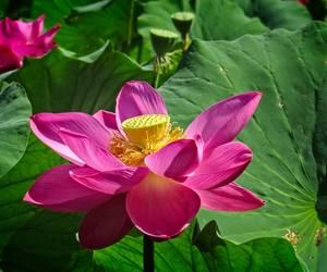 Pond Lotus...