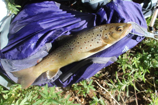 brown trout from the Rio Grande...