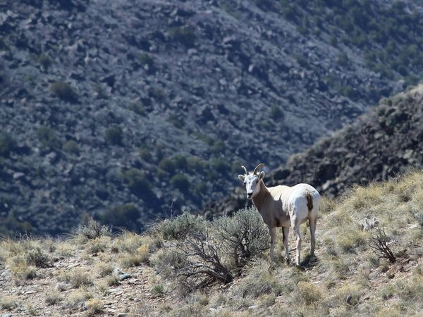 mountain sheep keeps an eye on me...