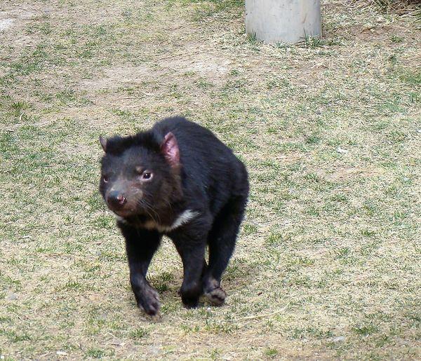 Tasmanian Devil...