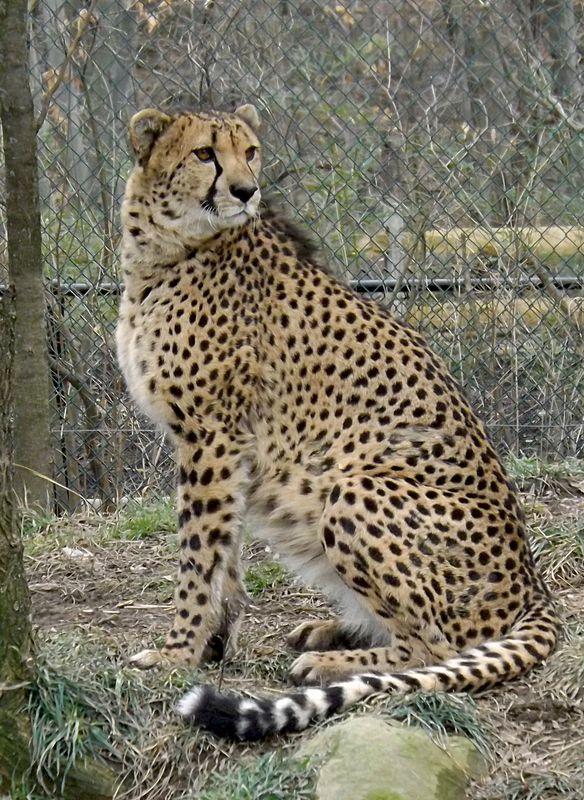cheetah...