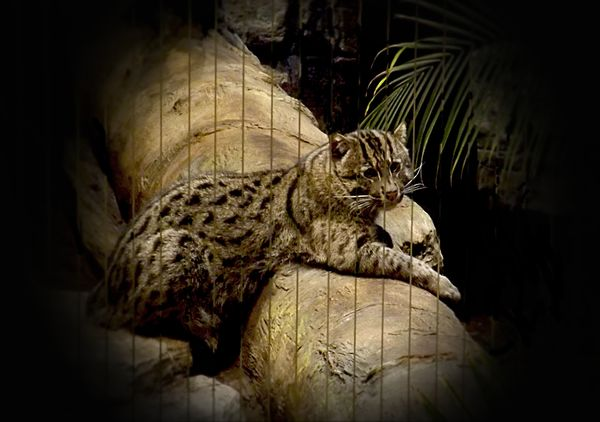 fishing Cat at zoo...