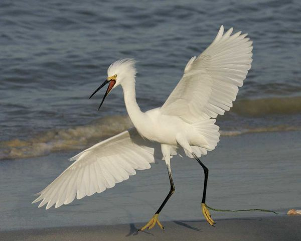 Snowy Egret, Image Via Google, From The Web, Not M...