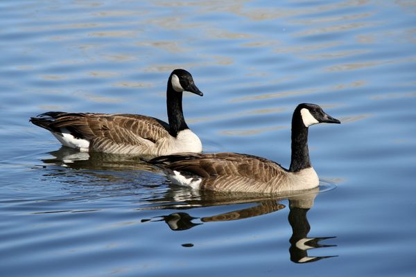 Canada Goose (Geese), Image Via Google, From The W...