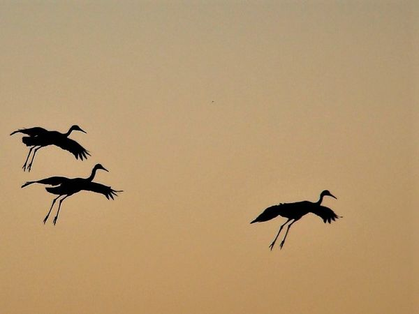 Sandhill cranes coming in to roost...