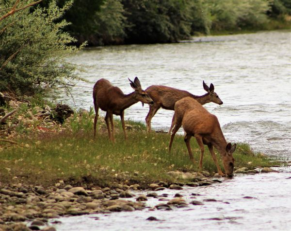 deer on the Animas River, Aztec New Mexico...