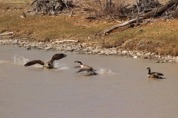 Canada Geese having a territorial dispute, Animas ...