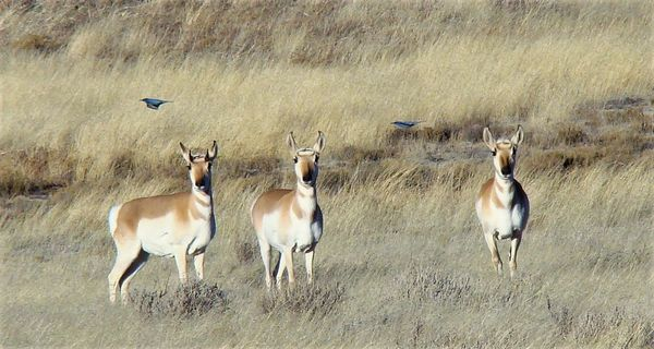Three antelope photo-bombed by 2 birds...