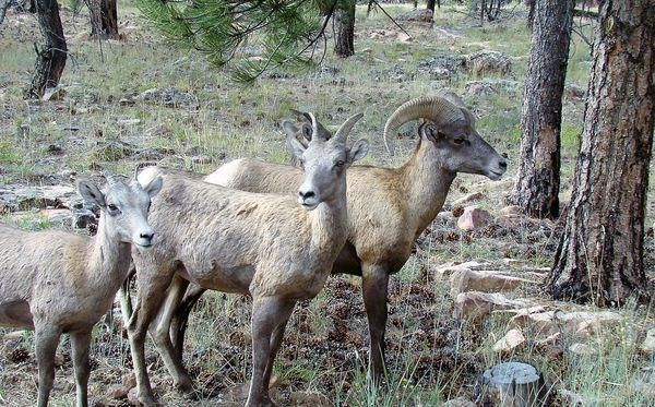 small, medium and large big horned sheep...